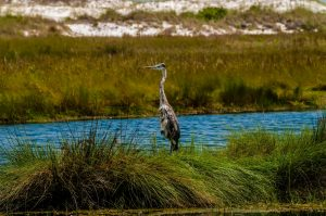 blue heron - Everglades airboat tours - Fort Lauderdale Airboat Rides