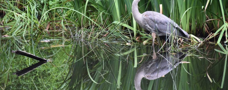 blue heron - Eco Tour - Fort Lauderdale Airboat Rides