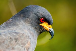 Wildlife of The Everglades - Snail Kite