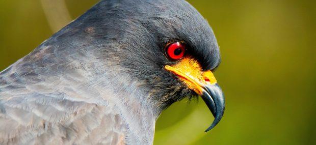 Wildlife of The Everglades - Snail Kite