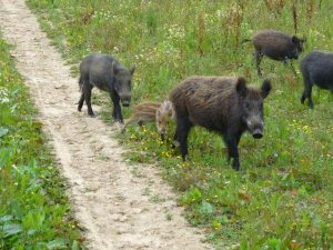 Wildlife of The Everglades - Wild Hog