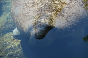 Everglades rare and endangered species - Manatee